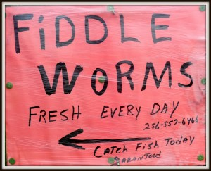 Fiddle Worms for Sale