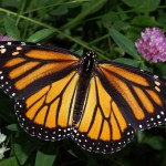 Monarch Butterfly Taken by Kenneth Dwain Harrelson